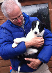 Heath_sheepdog_pup